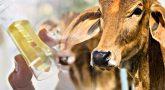 காதல் ஜோடிகளுக்கு கோமியம் கொடுக்கும் தண்டனை: உபியில் பரபரப்பு