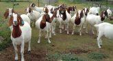 ஆடுகளின் கற்புக்கு ஆபத்து: இந்து முன்னணி புகார்